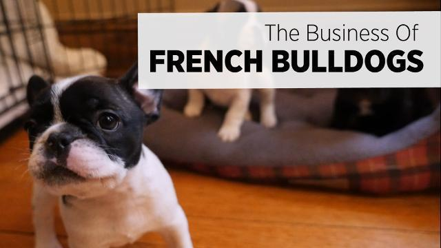 The Business Of Breeding French Bulldogs